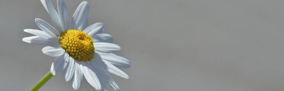 margerite vor grauem hintergrund